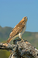 542100020 a wild adult red-tailed hawk buteo jamaicensus perches on a very large tree limb against a blue sky in the texas hill country in central texas