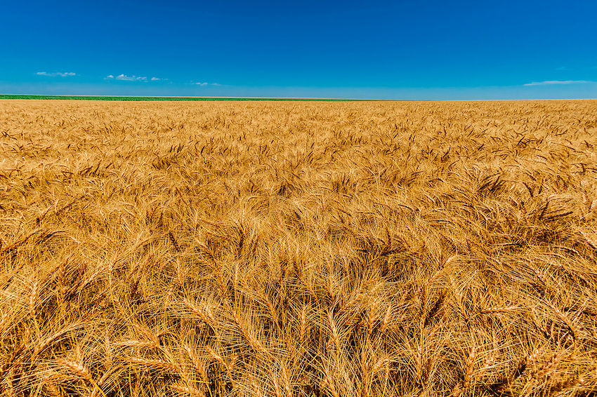 Wheat fields at harvest time, Schields & Sons Farming, Goodland, Kansas USA.