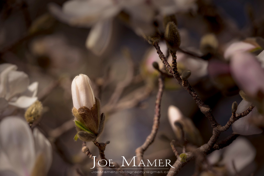 Magnolia blossom at the University of Minnesota Landscape Arboretum.