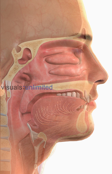 A midsagittal section of the head and neck. The surface anatomy of the body is semi-transparent. Royalty Free