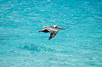 Brown Pelican flying over blue water<br /> St. John,<br /> U.S. Virgin Islands