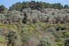 terraces with olive trees and orange trees<br /> <br /> terazas con olivos y naranjos<br /> <br /> Terrassen mit Olivenb&auml;umen und Orangenb&auml;umen<br /> <br /> 3008 x 2000 px