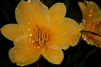 Yellow day lily after rain.