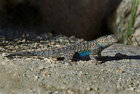 425900028 a wild great basin fence lizard sceloporus occidentalis longipes near keogh hot springs inyo county california