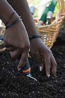 Closeup on the hands of an African-American gardener digging in  rich garden soil with a garden trowel.