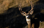 trophy muledeer buck warm hi angle light grass hills