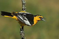 561930014 a wild adult male bullocks oriole icterus bullockii sings while perched on a lichen covered branch in the rio grande valley of south texas