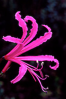 Dramatic close-up of glowing single blossom of shocking pink Nerine bowdenii, Spider Lily, in Southern Hemisphere section of Van Dusen Botanical Garden, Vancouver, BC
