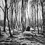 Sheep grazing at Silver Birch Forest, Bolehill Quarry, Peak District