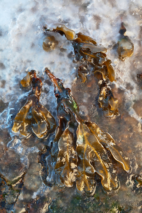Ice covers seaweed in the intertidal zone revealed at low tide at Seawall in Acadia National Park, Maine, USA