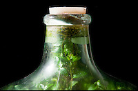 BNPS.co.uk (01202 558833).Pic: Phil Yeomans/BNPS..Eco-message in a bottle.....Last sealed in 1972...Amateur gardener David Latimer from Cranleigh in Surrey has astonished experts on the long running BBC radio show Gardeners Question Time by showing them his 52 year old 'bottle garden' - that has been sealed by a cork without water since 1972 and amazingly still seems to be thriving...David carefully planted a Tradescanthia plant in a 10 gallon 'carboy' Sulphuric acid jar in 1960 as an experiment, topping it up with 1/4 pint of water through the sixties the bung was finally put in for good in 1972.. .Since then the bottle has been almost forgotten under the stairs apart from one precarious trip down the M6 when the couple retired to Surrey...Expert Chris Beardshaw described the strange survivor as the 'wonderful example of a perfect cycle of life' ..
