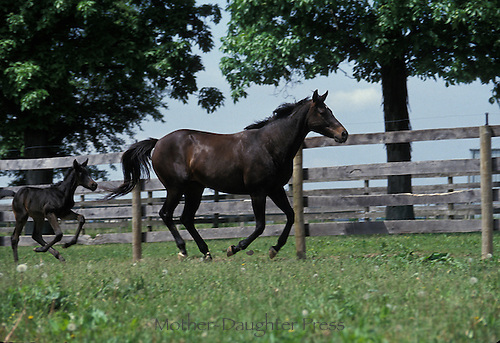 Mare and foal running along fence