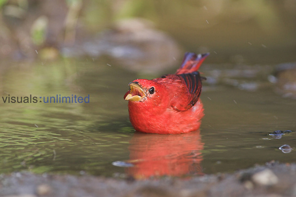 Summer Tanager bathing and vocalizing, Costa Rica