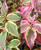 Cornus kousa Summer Gold in two phases, summer foliage variegated and autumn fall color, composite picture