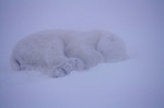 Polar bear sleeps in a snowstorm.