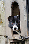 Sheepdog in kennel on upland farm, Upper Teesdale, North Pennines AONB, County Durham