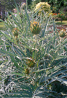 Artichokes on plant in vegetable garden Cynara