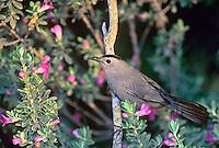 511720015 Gray Catbird Dumatella carolinensis WILD.South Padre Island, TX