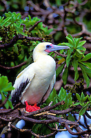 """Red footed booby or """"""""a"""""""", (sula sula rubripes). Common in the northwest chain and throughout the tropical pacific."""