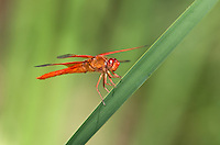 389310007 a wild flame skimmer libellula saturata perches on  a cattail reed along piru creek in los angeles couny california