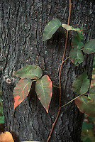 Poison ivy vine on tree trunk in autumn fall color