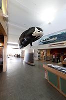 Bowhead whale in the Utqiagvik (Barrow) Museum, Utqiagvik (Barrow), Alaska