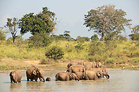 Herd of elephants at waterhole in Uda Walawe National park.