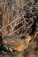 570993011 a wild female ring-necked pheasant phasianus colchicus in dead grasses in sacramento national wildlife refuge in california united states