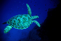 Turtle swimming over the Great Barrieer Reef.