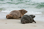Two harbor seals lays on the sand on Children's Pool beach backdropped by the ocean waves on the coast of La Jolla, California.
