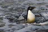An Adelie Penguin surfs onto shore at a beach on Cape Crozier, Antarctica.