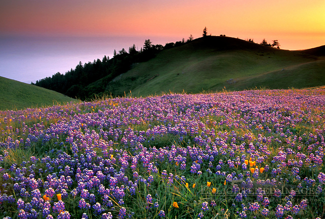 grass field sunset. Green Grass Field Sunset. Of Purple Wildflowers In On Hillside At Sunset B