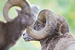bighorn sheep rams in montana close up views of horns