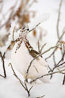 Willow ptarmigan in a transition stage to winter plumage is well camouflaged among willow branches, Brooks range, Arctic, Alaska.