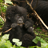Mountain Gorilla baby eating bamboo (Gorilla gorilla beringei), Sabyinyo Group, Volcanoes National Park, Rwanda