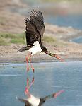 Black Stork, Ciconia nigra, Lesvos Island, Kalloni Salt Pans, Greece, landing in water, flying, in flight, summer visitor , lesbos