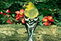 Male Goldfinch poses with Quince flowers on log