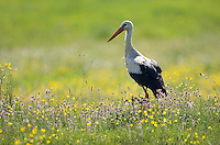 White stork (Ciconia ciconia) in flower meadow. Labanoras Regional Park, Lithuania. Mission: Lithuania, May 2009