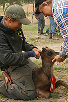 Reindeer herding. Cutting the owners mark in the calves ears. Saanti Sijte (Essand reinbeitedistrikt).