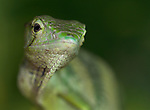 Monkey Tree Lizard, Polychrus marmoratus, with warning flap under chin, Costa Rica, tropical jungle, captive, Many-Colored Bush Anole, Marbled Bush Anole.Central America....