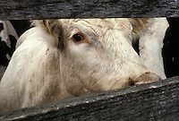Curious cow awaits fate at livestock auction.