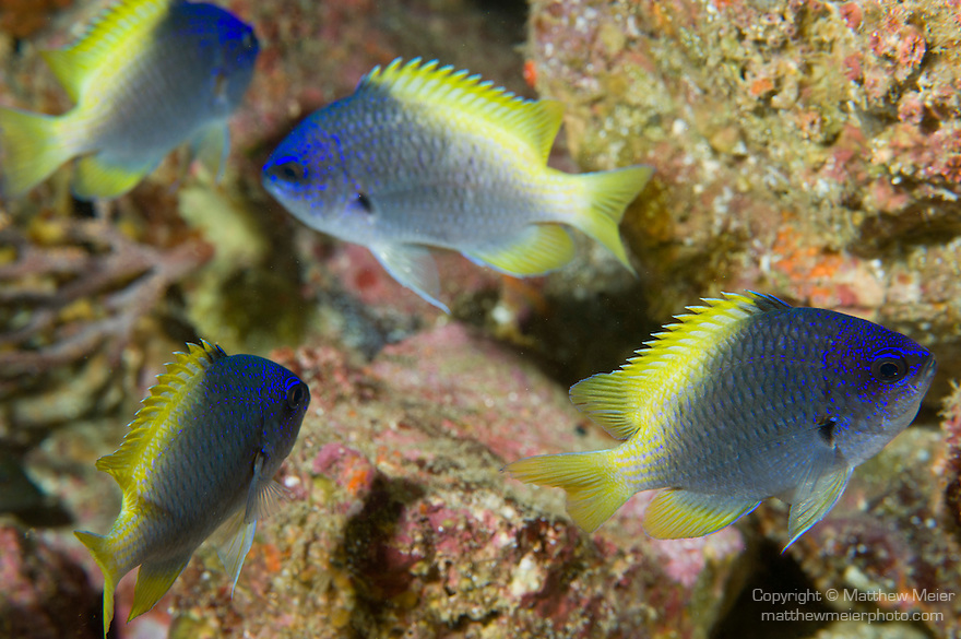 Sea of Cortez, Baja California, Mexico; four juvenile Blue-and-yellow Chromis (Chromis limbaughi) fish swimming above the rocky reef