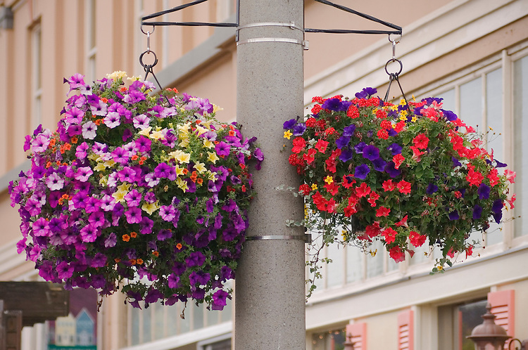 Municipal Hanging Flower Baskets : Petunias in hanging flower baskets on broadway street
