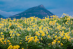 Cutleaf Balsamroot wildflowers on the east front of the Rocky Mountains in Montana