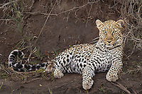 Leopard resting on a river bank in the Masai Mara Reserve, Kenya, Africa (photo by Wildlife Photographer Matt Considine)