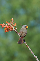 573900056 a wild male pyrrhuloxia cardinalis sinatus perches on a flowering ocotillo plant in southern arizona