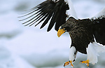 A Steller's sea eagle (Haliaeetus Pelagicus) in flight, preparing to land.