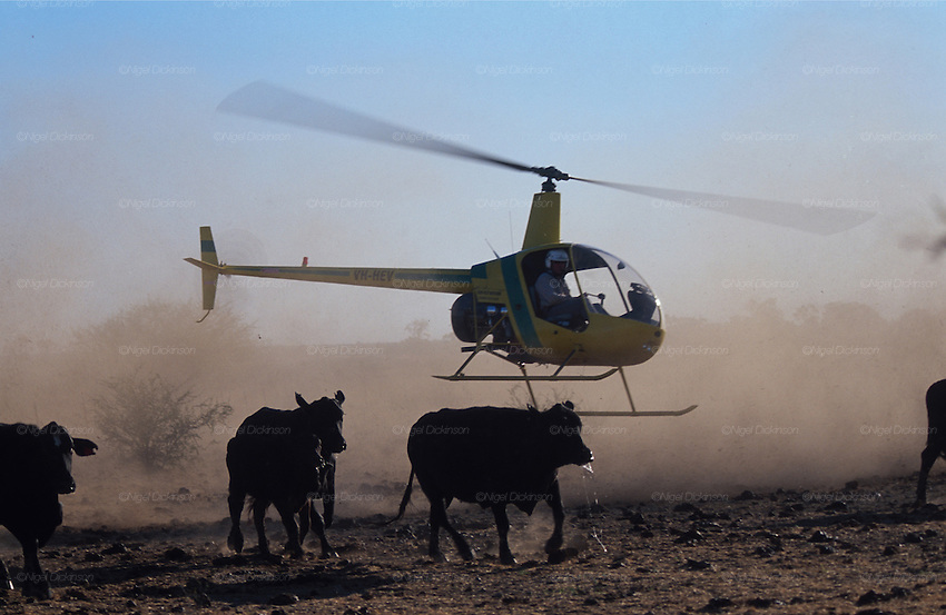 Australia, Queensland. Heli-mustering cattle in huge 'stations', ranches of millions of hectares. 2001.'MEAT' across the World..foto © Nigel Dickinson