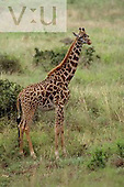 A Masai Giraffe ,Giraffa camelopardalis tippelskirchi, Kenya