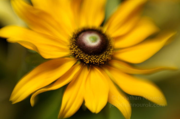close-up of a yellow black-eyed Susan flower (rudbeckia)
